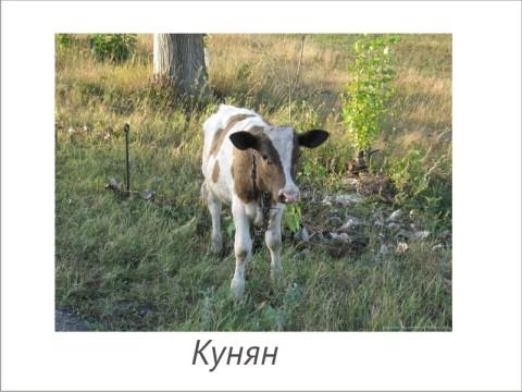 кунян - теленок